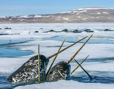 Elusive Narwhals in the Canadien Arctic. Photo taken by Paul Nicklen Fast Crazy Nature Deals. Wow Image, Arctic Animals, Wild Animals, Wildlife Conservation, Sea Creatures, Best Funny Pictures, Pretty Pictures, Animal Photography, Nature Photography