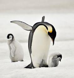 Пингвины— это ласточки, которые ели после шести