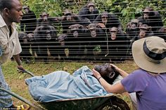 """Chimps mourning - the one third from right has a very sad face, and is being consoled.  When in humanoid evolution did the realization of mortality arise?  When did it start """"needing"""" a god?"""