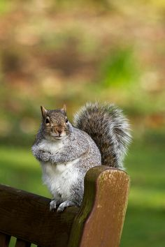 The bus should be along any minute now... Today's dose of squirrel cuteness. #waitingforRedsandGrays