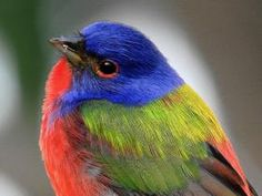 Painted Bunting - look at the attitude he's giving the camera!