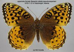 ✿ Great Spangled Fritillary ~  Speyeria Cybele ✿