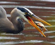Great Blue Heron... fishing for breakfast.  -  flickriver.com