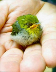 Japanese White eye or Mejiro