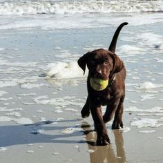 chocolate lab ...My Molly LOVES to play ball at the beach!  ...