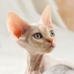 Devon Rex Cat want want want!!!!!!!