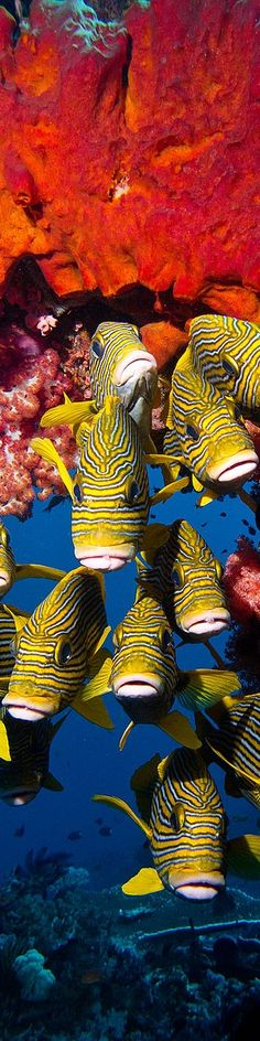 A School of Sweetlips Fish - Long, Tall, Vertical Pins.