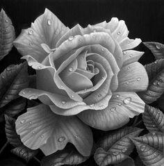 Rose study by StephenAinsworth on DeviantArt
