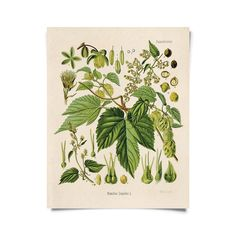 """Curious Prints! Vintage Botanical Beer Hop Print 8x10"""" Vintage Botanical Prints, Vintage Art, Antique Prints, Hops Plant, Carl Friedrich, Beer Maker, Home Brewing Beer, How To Make Beer, Personalized Christmas Ornaments"""