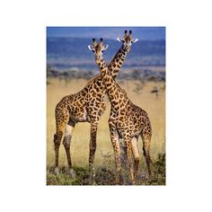 Masai Giraffes, Giraffa Camelopardalis Tippelskirchi, Masai Mara... ($60) ❤ liked on Polyvore featuring home, home decor, wall art, actors, actors by medium, celebrities by talent, entertainment, movie actors, people and w