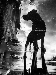 """My dog filby reflected in a puddle today taken on my galaxynexus"" by Heather Buckley 