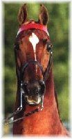 American Saddlebred-they are SO FUN to ride!!!! Love their high heads!