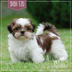 Shih Tzu: uma raça dócil e super higiênica.