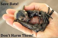 """#SmartHealthTalkTopPick: Don't hurt our bats. They work for us eating mosquitoes and other insects while pollinating fruit. Please stop using Roundup in your yards and buy organic produce to help protect bats. Call your state and county vector departments to tell them you """"OPT OUT"""" of gov't pesticide spraying in YOUR YARD. Make sure to get rid of standing water so mosquitoes have no place to breed and no positive trap tests that give gov't reason to spray us."""
