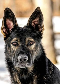 WOW! Look how the eyes pop on a dark sable! I've never seen a silver sable's eyes like that. What a stunner ❤❤❤❤❤ #Dark sable #German #shepherd