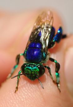 The Euglossini tribe in the subfamily Apinae, commonly known as orchid bees or Euglossine bees, are the only group of corbiculate bees whose non-parasitic members do not all possess eusocial behavior.