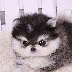 Mini Dog Dwarf Spitz Dwarf Pomeranian dog with white paws diy funny tattoo bonitos cachorros graciosos Mini Dogs, Cute Dogs And Puppies, Doggies, Poodle Puppies, Tiny Puppies, Adorable Puppies, Rottweiler Puppies, Huskies Puppies, Pets