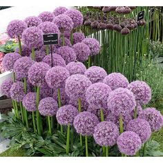 Allium@mindy Milano Allium, Agapanthus, Dream Garden, Home And Garden,  Flower