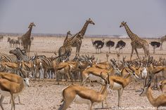 Drukte rond de waterholes in Etosha NP Camel, Animals, Blog, Rice, Animaux, Camels, Animal, Animales, Bactrian Camel