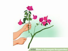How to Propagate Bougainvillea: 12 Steps (with Pictures)