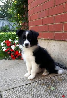 Astounding Border Collie Dog Tips Ideas Perros Border Collie, Border Collie Puppies, Cute Puppies, Cute Dogs, Dogs And Puppies, Border Collie Colors, Sweet Dogs, Herding Dogs, Australian Shepherds