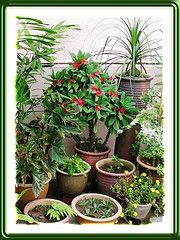 Euphorbia Milii... family love.  Working on growing this 'Crown of Thorns' right now!!