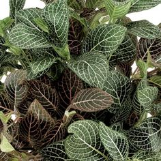 Purple passion one of over 400 varieties from exotic for How to take care of exotic angel plants