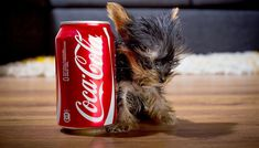 TEA CUP YORKSHIRE TERRIERS SHOULD NOT BE BRED.  They have many congenital abnormalities which result in a compromised length and quality of life.  Please do not purchase these.