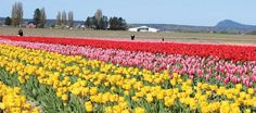 Family fun day at the Skagit Valley Tulip Festival. Tulips route, events, dining, shopping, other activities for kids and families. Via South Sound Magazine.