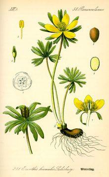 Illustration des Winterlings aus Flora von Deutschland, Österreich und der Schweiz, 1885