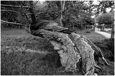 Old Tree, falling but holding on, refusing to give in and stubborn to the end. That description describes a few of my older relatives and may sound familiar to yourself, and your family, or it could describe close friends. But I am also referring to this Salix fragilis (Crack Willow) tree, in Northampton shire, close to the River Nene