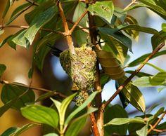 Booted Racket-tailed hummingbird nest