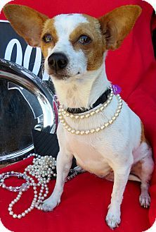 Irvine, CA - Rat Terrier/Jack Russell Terrier Mix. Meet Della a Dog for Adoption.