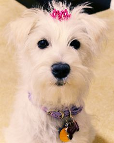 The one and only, Princess Zelda. She's a white miniature schnauzer. In a tiara.  [It looks like our somedays are now!]