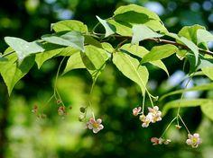 ツリバナ花wb.jpg