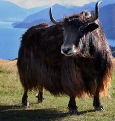 Yak - Tibet -The yak may have diverged from cattle at any point between one and five million years ago, and there is some suggestion that it may be more closely related to bison than to the other members of its designated genus