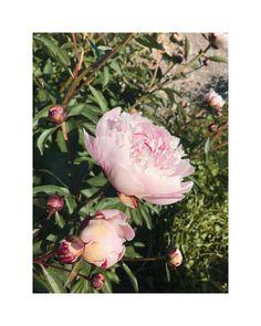 """flower overdose on Instagram: """"fav ones . . . . . . . . . . . . . . . . . . . . . #gardenflowers #beautifulflowers #flowers #flower #nature #garden #flowerpower…"""" Over Dose, Flower Power, Beautiful Flowers, Garden, Nature, Instagram, Garten, Naturaleza, Pretty Flowers"""