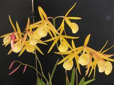 Brassolaelia Bl. 'Yellow Bird' perfumed