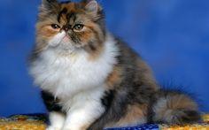 4 Makanan Kucing Persia yang menyehatkan