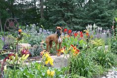 My gardening buddy - our boxer Kona - king of the garden! Turtle Rock, Boxer, Gardens, King, Boxer Pants, Boxer Dogs, Tuin, Garden, Boxers