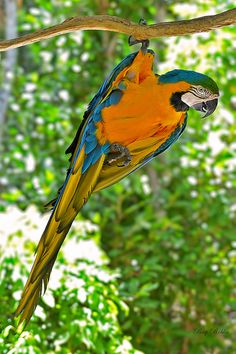 Blue-and-yellow Macaw | Flickr - Fotosharing!