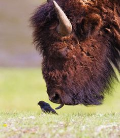 Bison licks a bird:       This plucky little bird was given a good licking when it dared to venture near a massive bison. The brown-headed cowbird was feeding on insects when the towering beast gently touched it with her tongue…        Photographer Tin Man Lee captured the moment at Yellowstone National Park.