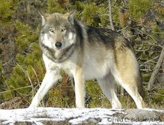 """Make a donation now to """"Defenders of Wildlife"""" before year's end and it will be doubled.  Wolves need our help. Click to go to their webpage."""