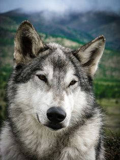 Portrait of a Grey Wolf. He reminds me of my favorite malamute doggie ever!