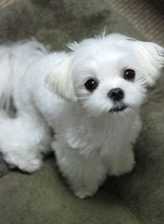 Maltese- the best ever. Looks like my baby except she's cuter