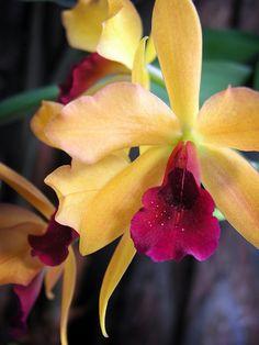 Laeliocattleya Gold Digger 'Orchid Jungle' by v0lta1c, via Flickr