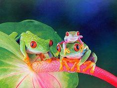 Google Image Result for http://2.bp.blogspot.com/_iFIztPmvqg8/Sm9ZONzE2ZI/AAAAAAAABS8/x9S1UzPtg34/s400/10-Frog-Beautiful-Colourful-Frogs-Photos.jpg