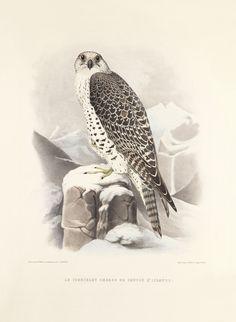 Schlegel Fauconnerie 04 Le tiercelet hagard de faucon d'Islande $195