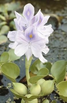 How to Care for Water Hyacinth Plants