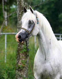 Felicity BHF (Falcon BHF {Bey Shah x Bey Serenade SF by Bey Shah} x BH Royal Westonia {MH Weston x JYS Royalette by Royal Binis} 2000 grey mare bred by Battle Hill Farm